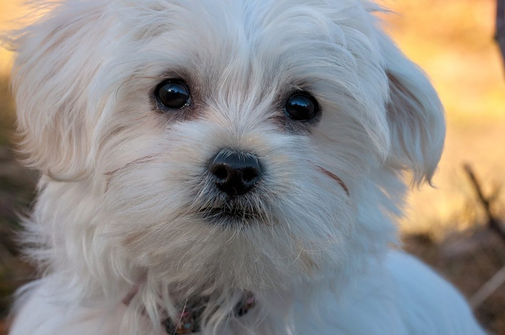 best dog food for maltese